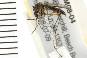 (Aedes excrucians - ACT-CM08-04)  @15 [ ] CreativeCommons - Attribution Non-Commercial Share-Alike (2009) BIO Photography Group Biodiversity Institute of Ontario