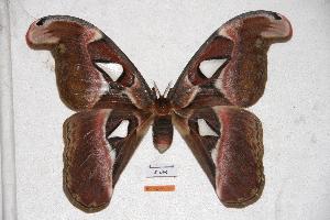 (Attacus erebus - BC-RBP-0566)  @14 [ ] Copyright (2010) Ron Brechlin Research Collection of Ron Brechlin