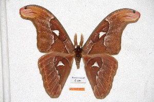 (Attacus paukstadtorum - BC-RBP-0575)  @11 [ ] Copyright (2010) Ron Brechlin Research Collection of Ron Brechlin