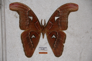 (Attacus lorquinii - BC-RBP-0579)  @14 [ ] Copyright (2010) Ron Brechlin Research Collection of Ron Brechlin