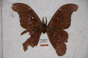 (Attacus lorquinii calayanensis - BC-RBP-0582)  @14 [ ] Copyright (2010) Ron Brechlin Research Collection of Ron Brechlin