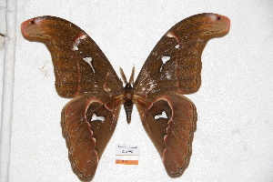 (Attacus caesar - BC-RBP-0585)  @15 [ ] Copyright (2010) Ron Brechlin Research Collection of Ron Brechlin