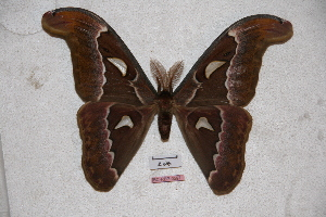 (Attacus suparmani - BC-RBP-0597)  @15 [ ] Copyright (2010) Unspecified Research Collection of Ron Brechlin