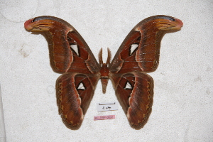 (Attacus mcmulleni - BC-RBP-0601)  @11 [ ] Copyright (2010) Ron Brechlin Research Collection of Ron Brechlin