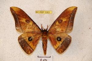 (Ceratocampinae - BC-RBP 3363)  @15 [ ] Copyright (2010) Ron Brechlin Research Collection of Ron Brechlin