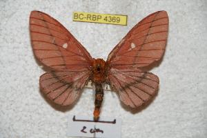 (Anisota dismexicana - BC-RBP 4369)  @14 [ ] Copyright (2010) Ron Brechlin Research Collection of Ron Brechlin