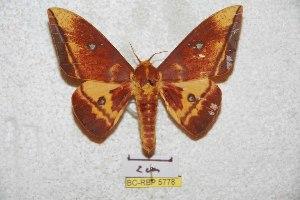 (Eacles alinae - BC-RBP 5778)  @11 [ ] Copyright (2010) Ron Brechlin Research Collection of Ron Brechlin
