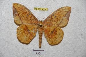(Eacles ormondei ormondei - BC-RBP 4654)  @15 [ ] Copyright (2010) Ron Brechlin Unspecified