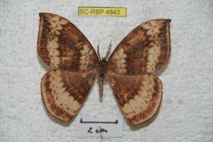 (Cercophaninae - BC-RBP 4843)  @15 [ ] Copyright (2010) Ron Brechlin Research Collection of Ron Brechlin