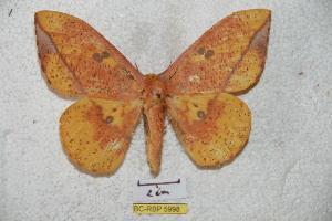 (Eacles ormondei ormondei - BC-RBP 5998)  @16 [ ] Copyright (2010) Ron Brechlin Research Collection of Ron Brechlin