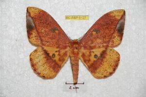 (Eacles ormondei ormondei - BC-RBP 6127)  @15 [ ] Copyright (2010) Ron Brechlin Research Collection of Ron Brechlin