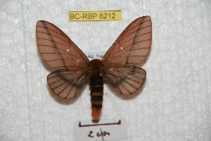 (Anisota suprema - BC-RBP 6212)  @14 [ ] Copyright (2010) Ron Brechlin Research Collection of Ron Brechlin