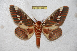 (Citheronia splendens - BC-RBP 6557)  @14 [ ] Copyright (2012) Ron Brechlin Research Collection of Ron Brechlin