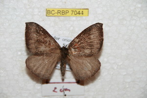 (Cercophaninae - BC-RBP 7044)  @15 [ ] Copyright (2012) Ron Brechlin Research Collection of Ron Brechlin