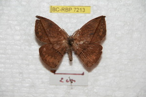 (Oxyteninae - BC-RBP 7213)  @15 [ ] Copyright (2012) Ron Brechlin Research Collection of Ron Brechlin