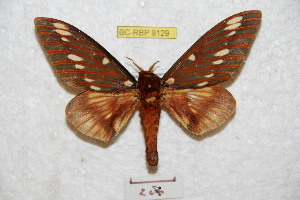 (Citheronia azteca - BC-RBP 9129)  @11 [ ] Copyright (2015) Ron Brechlin Research Collection of Ron Brechlin