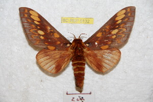 (Citheronia andensis - BC-RBP 9132)  @11 [ ] copyright (2015) Ron Brechlin Research Collection of Ron Brechlin