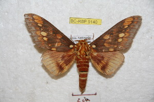 (Citheronia andensis - BC-RBP 9140)  @11 [ ] Copyright (2015) Ron Brechlin Research Collection of Ron Brechlin