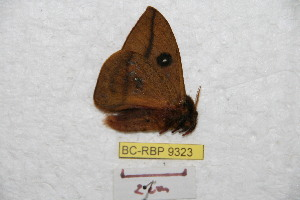 (Automeris risquindensis - BC-RBP 9323)  @14 [ ] Copyright (2015) Ron Brechlin Research Collection of Ron Brechlin