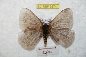 (Meroleuca - BC-RBP 9574)  @14 [ ] Copyright (2015) Ron Brechlin Research Collection of Ron Brechlin