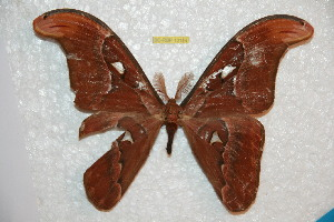 (Attacus lorquini - BC-RBP 10154)  @11 [ ] Copyright (2016) Ron Brechlin Research Collection of Ron Brechlin