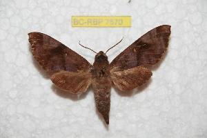 (Acosmeryx anceus halmaherana - BC-RBP 7569)  @14 [ ] Copyright (2013) Ron Brechlin coll. Ron Brechlin, Pasewalk