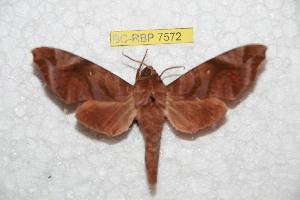 (Acosmeryx anceus alorana - BC-RBP 7571)  @11 [ ] Copyright (2013) Ron Brechlin coll. Ron Brechlin, Pasewalk