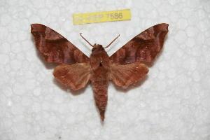 (Acosmeryx anceus philippinensis - BC-RBP 7585)  @13 [ ] Copyright (2013) Ron Brechlin coll. Ron Brechlin, Pasewalk