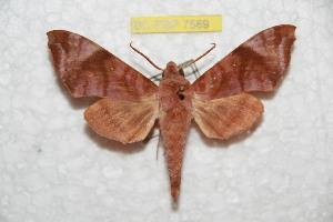 (Acosmeryx bismarckiana - BC-RBP 7588)  @14 [ ] Copyright (2013) Ron Brechlin coll. Ron Brechlin, Pasewalk