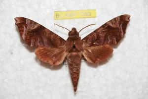(Acosmeryx anceus hainana - BC-RBP 7592)  @13 [ ] Copyright (2013) Ron Brechlin coll. Ron Brechlin, Pasewalk
