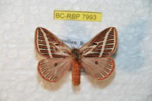 (Eubergia - BC-RBP 7993)  @15 [ ] Copyright (2013) Ron Brechlin coll. Ron Brechlin, Pasewalk