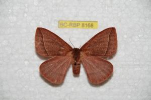 (Mexicantha - BC-RBP 8168)  @15 [ ] Copyright (2013) Ron Brechlin Research Collection of Ron Brechlin