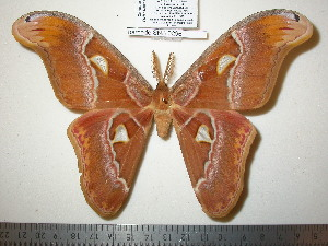 (Attacus wardi - barcode SNB 1555)  @15 [ ] Copyright (2010) Stefan Naumann Research Collection of Stefan Naumann