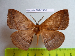 (Eupterotidae - barcode SNB 2466)  @15 [ ] Copyright (2010) Stefan Naumann Research Collection of Stefan Naumann