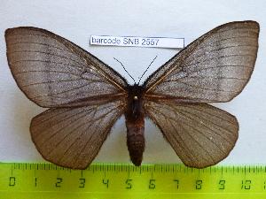 (Lasiomorpha - barcode SNB 2557)  @14 [ ] Copyright (2010) Stefan Naumann Research Collection of Stefan Naumann