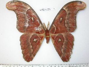 (Attacus crameri - barcode SNB 3783)  @15 [ ] Copyright (2012) Stefan Naumann Research Collection of Stefan Naumann