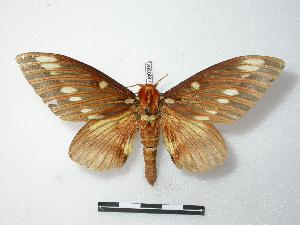 (Citheronia splendens - BC-Roug0364)  @14 [ ] Copyright (2010) Unspecified Research Collection of Rodolphe Rougerie