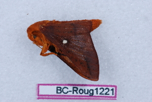 (Anisota peigleri - BC-Roug1221)  @11 [ ] Copyright (2011) Rodolphe Rougerie Research Collection of Rodolphe Rougerie