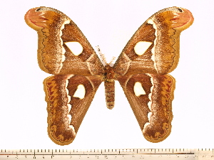 (Attacus dohertyi - BC-ULP0381)  @15 [ ] Copyright (2010) Ulrich Paukstadt Research Collection of Ulrich and Laela H. Paukstadt