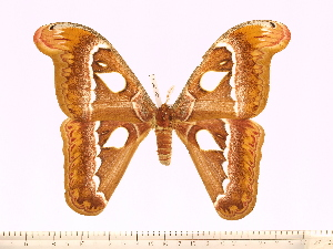 (Attacus dohertyi - BC-ULP0384)  @15 [ ] Copyright (2010) Ulrich Paukstadt Research Collection of Ulrich and Laela H. Paukstadt