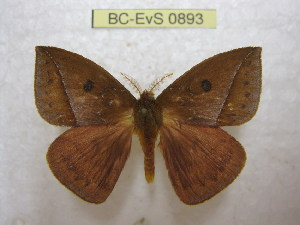 (Catacantha - BC-EvS 0893)  @15 [ ] Copyright (2010) Eric Van Schayck Unspecified