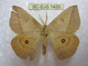 (Adetomeris - BC-EvS 1433)  @14 [ ] Copyright (2010) Eric Van Schayck Research Collection of Eric Van Schayck