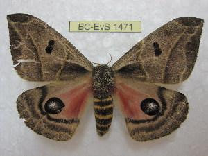 (Austrolippa - BC-EvS 1471)  @15 [ ] Copyright (2010) Eric Van Schayck Research Collection of Eric Van Schayck