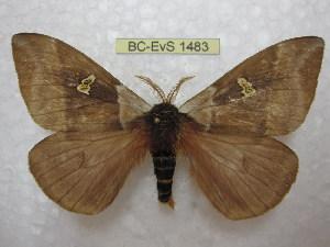 (Dirphiopsis - BC-EvS 1483)  @15 [ ] Copyright (2010) Eric Van Schayck Research Collection of Eric Van Schayck