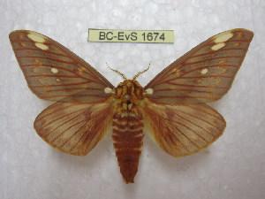 (Citheronia beledonon - BC-EvS 1674)  @15 [ ] Copyright (2010) Eric Van Schayck Research Collection of Eric Van Schayck