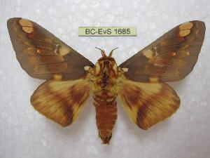 (Citheronia hamifera hamifera - BC-EvS 1685)  @11 [ ] Copyright (2010) Eric Van Schayck Research Collection of Eric Van Schayck