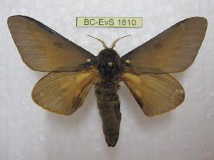 (Citheronia sepulcralis - BC-EvS 1810)  @13 [ ] Copyright (2010) Eric Van Schayck Research Collection of Eric Van Schayck