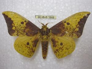 (Eacles imperialis anchicaensis - BC-EvS 1848)  @11 [ ] Copyright (2010) Eric Van Schayck Research Collection of Eric Van Schayck