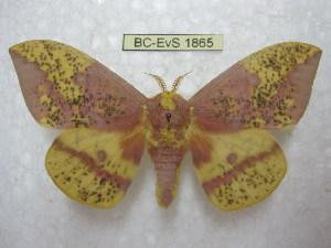 (Eacles imperialis pini - BC-EvS 1865)  @14 [ ] Copyright (2010) Eric Van Schayck Research Collection of Eric Van Schayck
