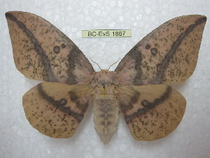 (Eacles imperialis oslari - BC-EvS 1867)  @16 [ ] Copyright (2010) Eric Van Schayck Research Collection of Eric Van Schayck